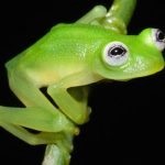 Scientist Discovered Species Looks Exactly Like Kermit the Frog