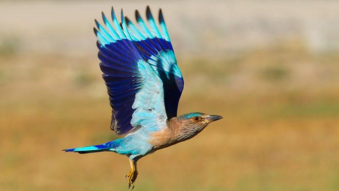 Indian Roller Bird   Charismatic Planet