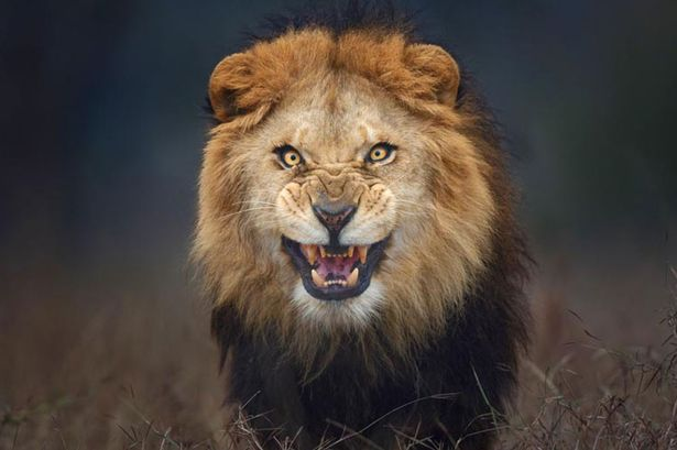 Incredible Photo of Angry lion about to attack on Brave Photographer Just 10 feet from it