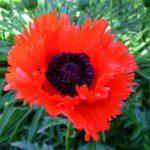 Poppy or Papaver Orientale