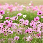 Cosmos Flower is Ideal for the back of your Garden