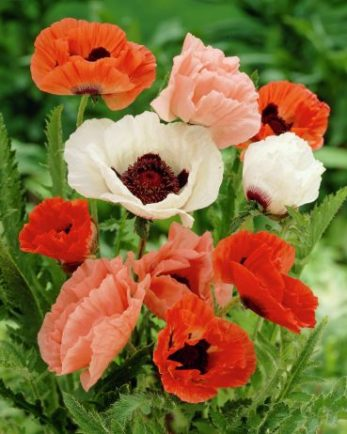 Papaver orientale mixed