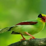 The Vivid Green Magpie