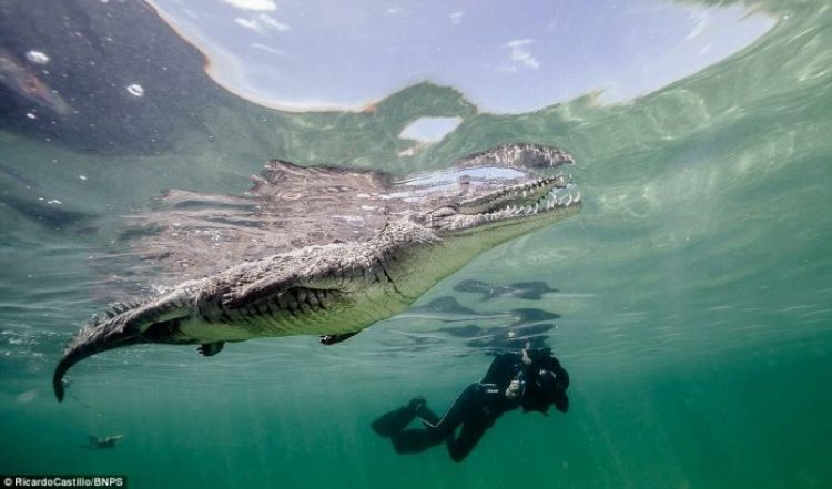 Although he had ventured into the water to take pictures of sharks, the crocodiles just happened to be there