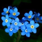 Forget-Me-Not or Myosotis Sylvatica Flower