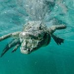 Photographer Captures Fabulous Photographs of Deadly Crocodiles While Snorkeling in Cuba