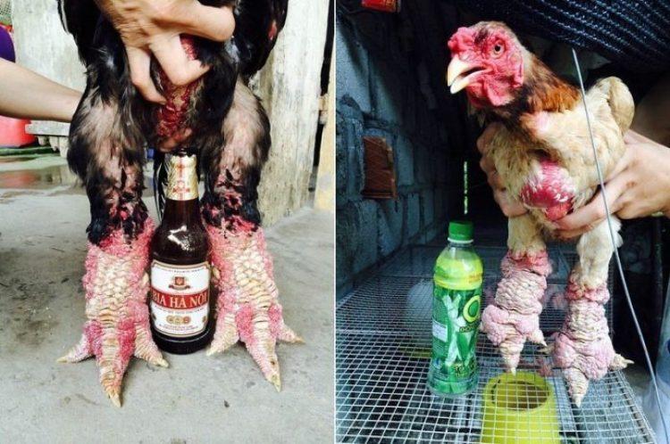 dong-tao-chicken-4[2]