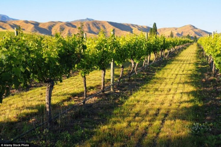 the vines of the Montana Winery vineyard in Blenheim to sample the delicious offerings