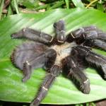 Phormingochilus Pennellhewletti A New Species of Spider