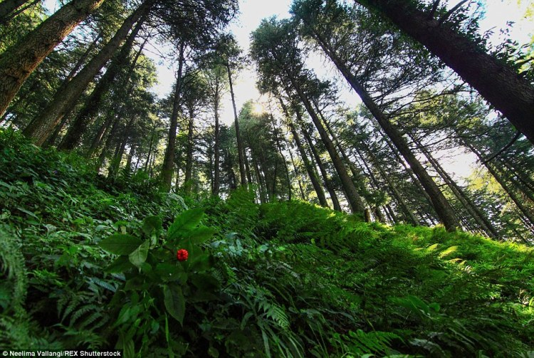The sky-high cedar trees in the hills of Banjar Valley, one of the most beautiful and pristine regions of Himachal Pradesh, would make anyone feel dwarfed