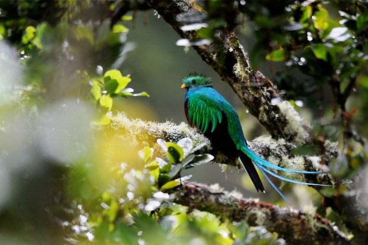 The Resplendent Quetzal is Guatemala's national bird, and an image of it is on the flag and coat of arms of Guatemala, and also the name of the local currency.