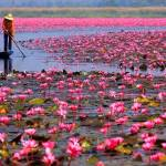Pink Flowers Lotus Lake