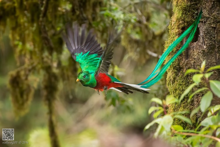 During mating season, male quetzals grow twin tail feathers that form an amazing train up to three feet (one meter) long.