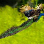 The Amazing Photos of Flying Peacocks