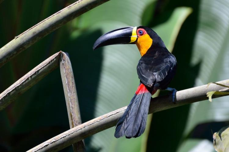 The Channel-Billed Toucan upper plumage, abdomen, tail and bill are black; however upper-tail and under-tail feathers are red.