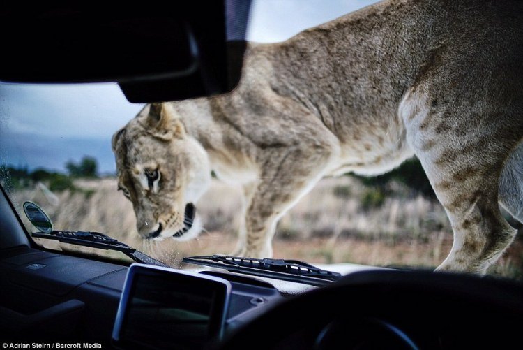 A close-up picture of the lioness inspecting the car closely, her markings clearly displayed on her hind legs