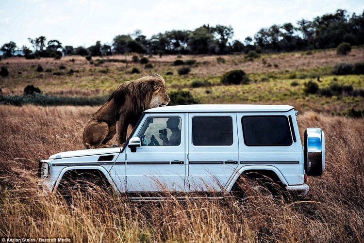 A lion perches on top of the Mercedes SUV as photographer Adrian Steirn takes its photo from inside the vehicle