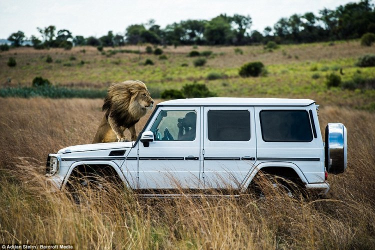 Adrian Steirn photographs the animals from within the car, while the lion leaps on the bonnet