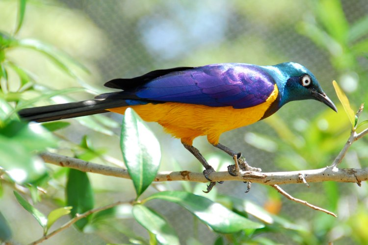 The golden-breasted starling has been called the most beautiful starling in the world.