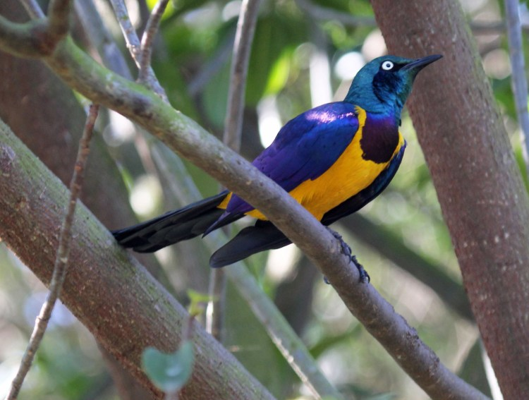 .  The birds habitually make nests in tree holes which are made from leaves, roots, straw and other vegetation.