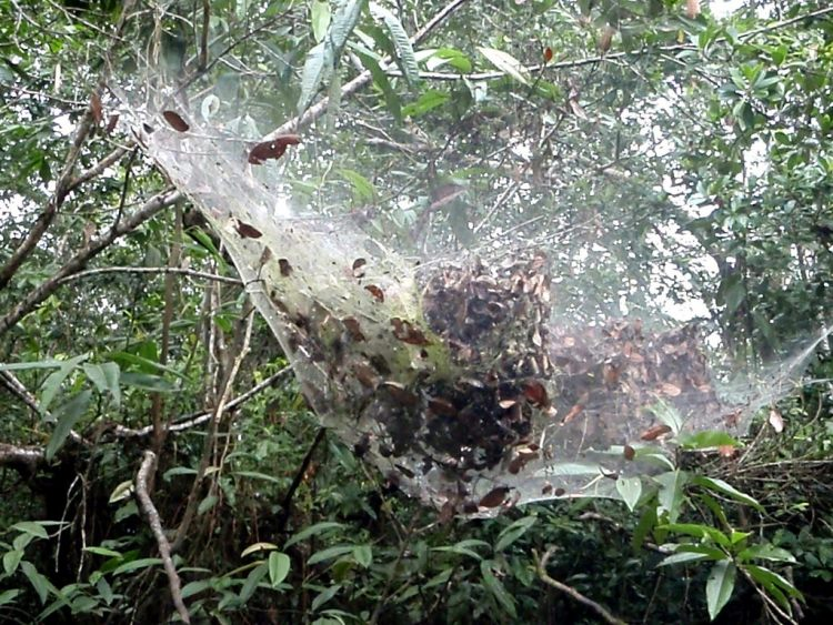 species of spider that grows and habitually live in colonies and formed spiders webs that can reach amazingly 25 feet in height.
