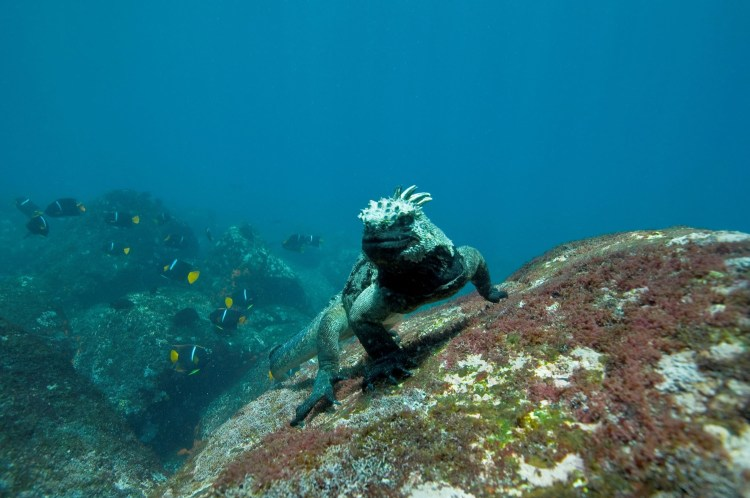 The iguanas has dark gray coloring to better absorb sunlight after their forays into the frigid Galapagos waters.