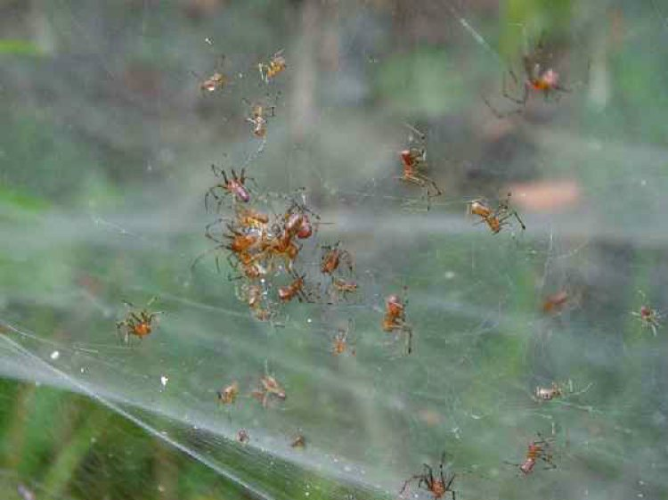 Social spiders in their spider webs