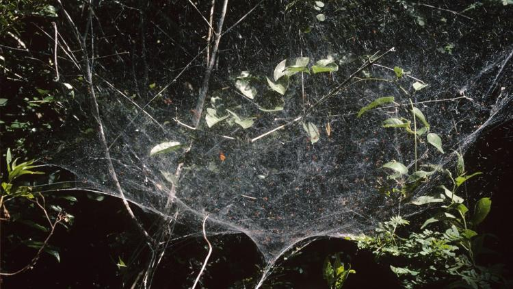 Among the countless species of spiders, there are only 23 spider's species that live in social groups.