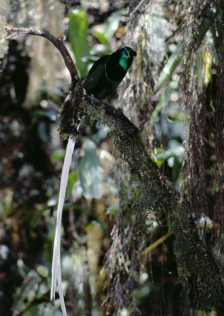 This stunning bird is distributed and endemic to subalpine forests in western part of the central highlands of Papua New Guinea.