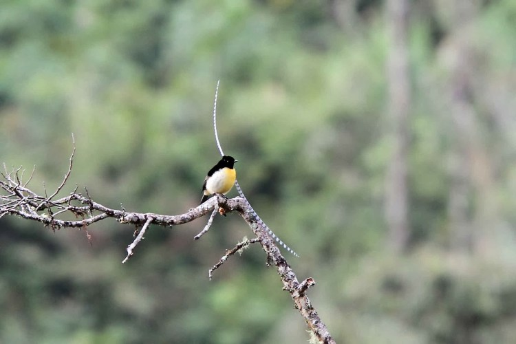 King-of-Saxony birds-of-paradise communicate with vocalizations, body posturing and movements.