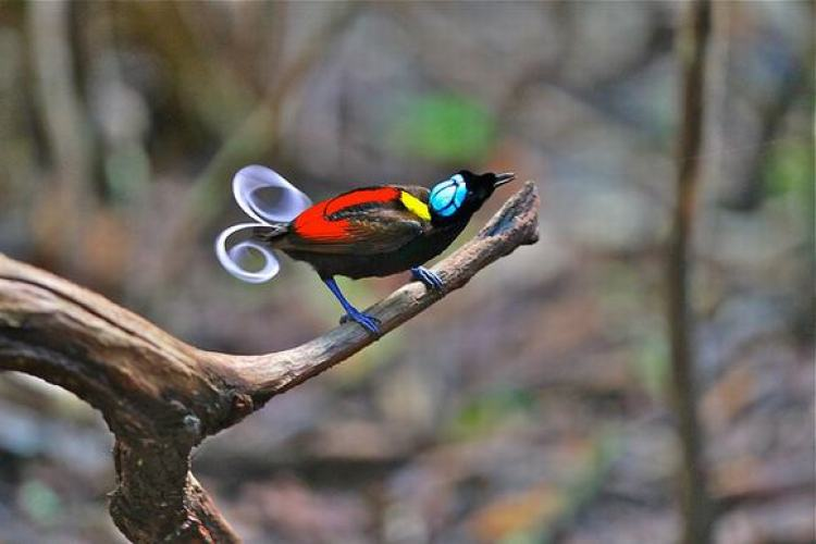 The bird mating season of Wilson's bird of paradise takes place two times per year: from May to June and in October.