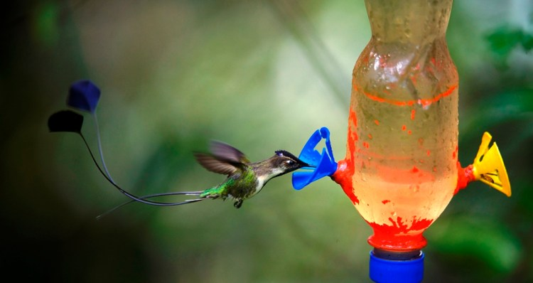 The marvellous spatuletail is unique among birds in having just four feathers in its tail.