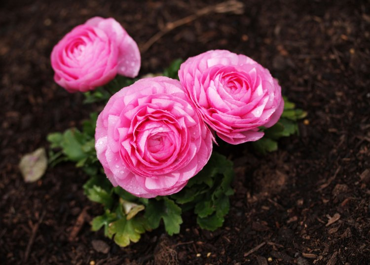 Most of the ranunculus available is the showy hybrids that you see in florist shops.