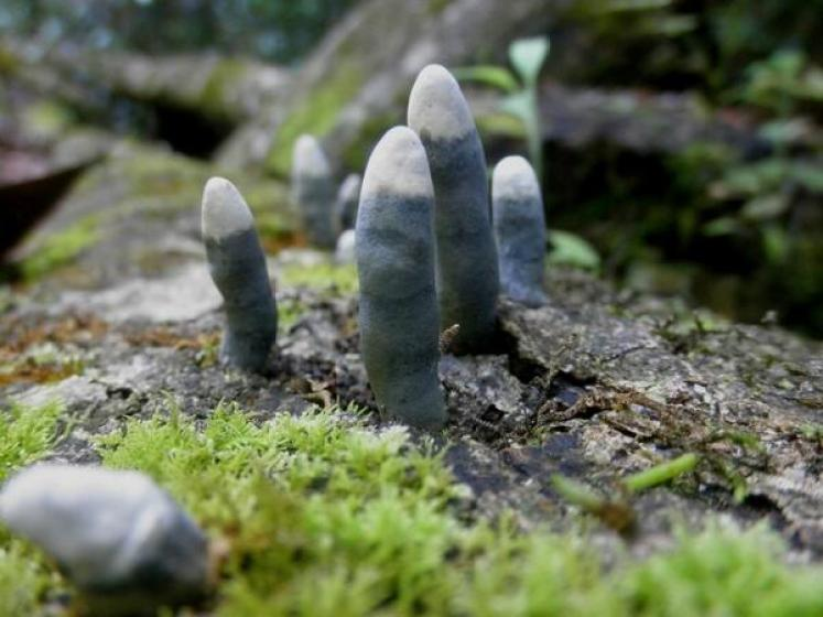 The genus Xylaria holds approximately 100 species of cosmopolitan fungi.