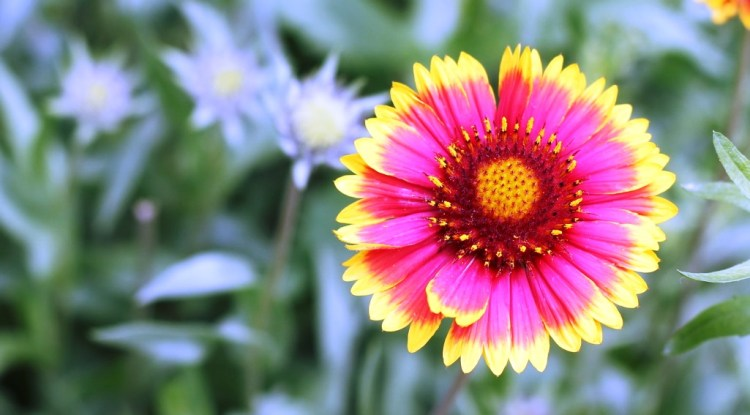 The blanket flowers are glandular in most species; however the inflorescence is a solitary flower head. Blanket flowers are annual or perennial herbs or subshrubs, sometimes with rhizomes.