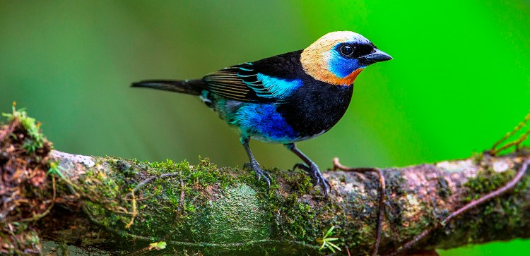 The Golden-hooded Tanager is habitually perched on branches or twigs, and often forages for arthropods with aerial sallies.