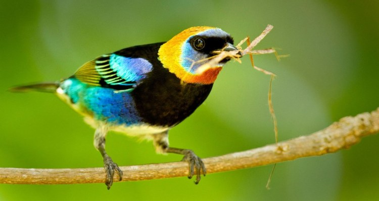 The beautiful Golden-Hooded tanagers occur in pairs, family groups or as part of a mixed-species feeding flock.