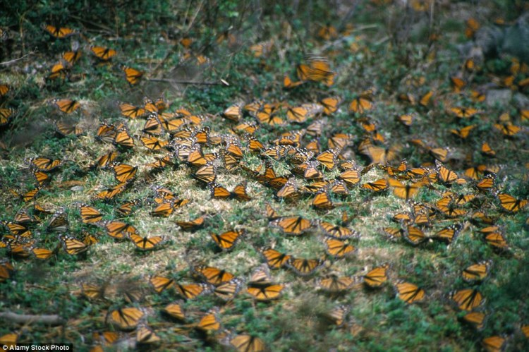Monarch butterflies feeding on milkweed, a plant key to the butterflies' migration