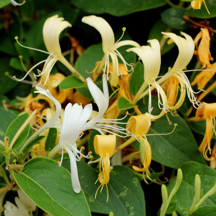 Honeysuckle gets its name because edible sweet nectar can be sucked from the flowers.