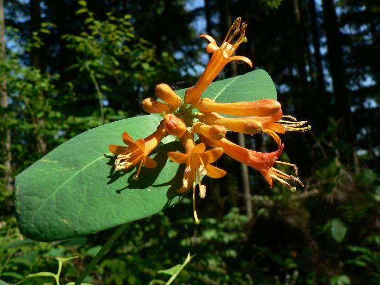 L. ciliosa