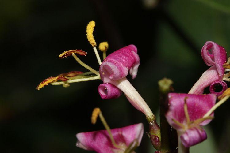 L. hispidula