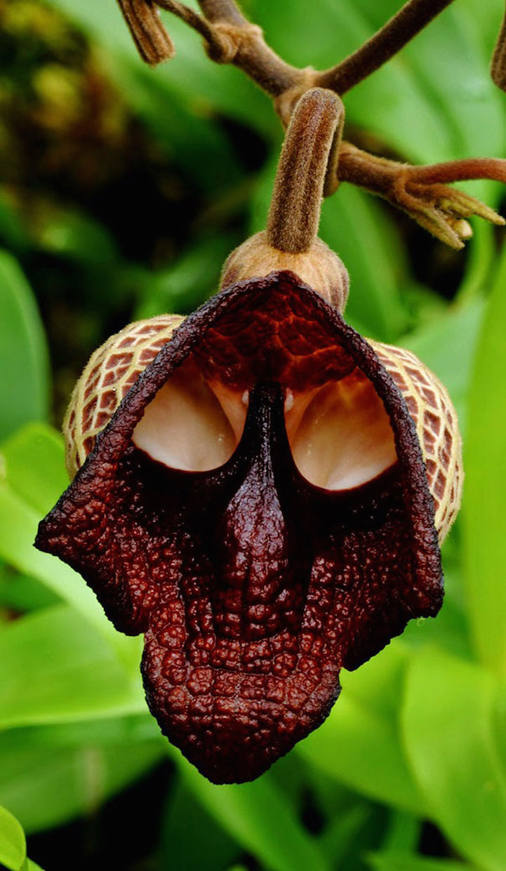 The flower Aristolochia Salvadorensis looks awfully similar to Darth Vader's mask!