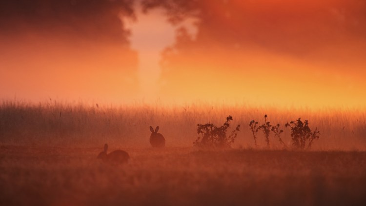 Rabbits in grass on a misty autumn morning.