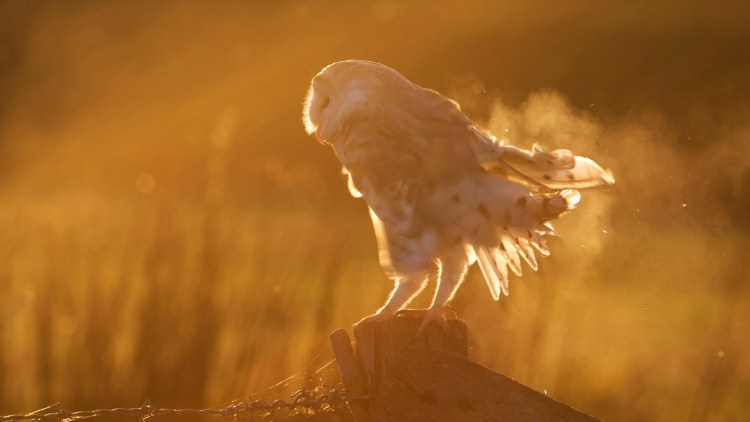 Barn Owl perched on a post at sunset in autumn - GB,
