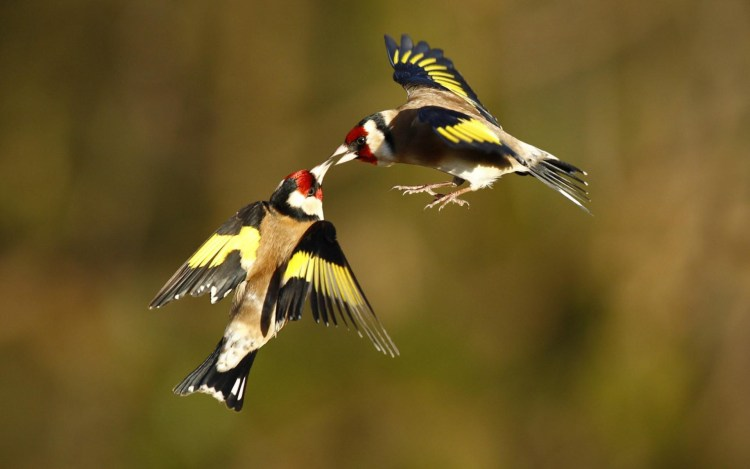 The Male goldfinches are the only birds that can extract seeds from teasel heads by clinging to the stem and probing with their long, pointed bill.