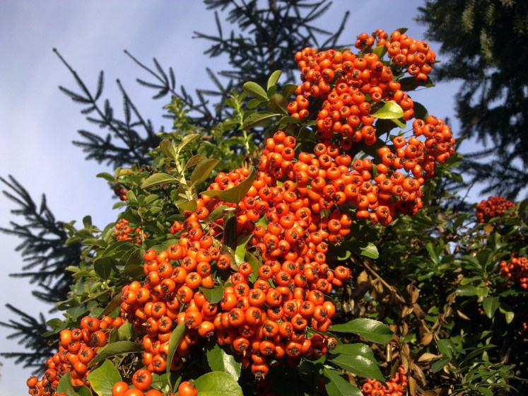 The Pyracantha plant can reach up to 20 feet tall, having seven species provides white / red flowers, (produce during late spring and early summer) and orange and yellow berries from late summer and mature in late autumn.