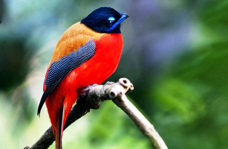 The Red-naped Trogon (Harpactes kasumba) is a species of bird belongs to Trogonidae family.
