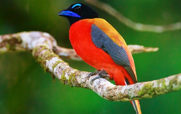 "The red-naped trogon's song voice is very sluggish, sad-sounding 5 to 8 note ""pau pau pau pau pau."""