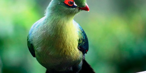 The bird is named after Herman Schalow, actually a mature birds have, on average, the longest crests of any turaco species.