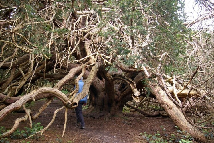 Moreover, according to local folks the yews at Kingley Vale were planted as a memorial for a battle fought between the Vikings and the Anglo Saxons in the year 859, but some sources claim the trees are two thousand years old.